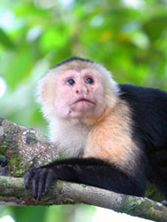 white-faced Capuchin-monkey