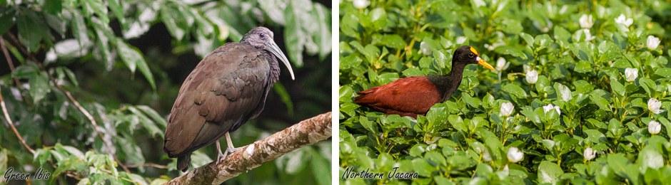 ibis + jacana