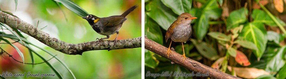 sparrow-thrush