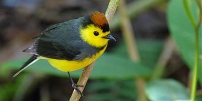 endemic bird species aratinga tours aratinga tours