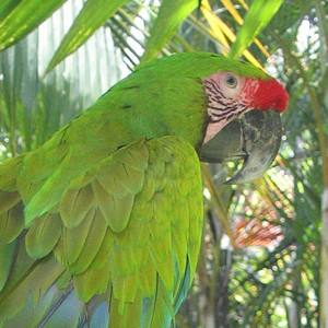 Aratinga Tours supports Great Green Macaw