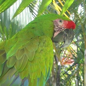 Aratinga Tours steunt Great Green Macaw