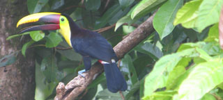Costa Rica's rijke Caraïbische avifauna