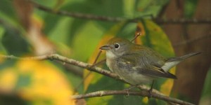 Chestnut-sided Warbler (wintering plumage)