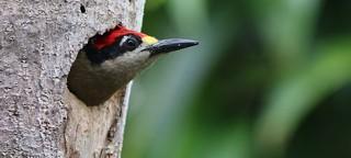 Birding Costa Rica's rich Caribbean Avifauna