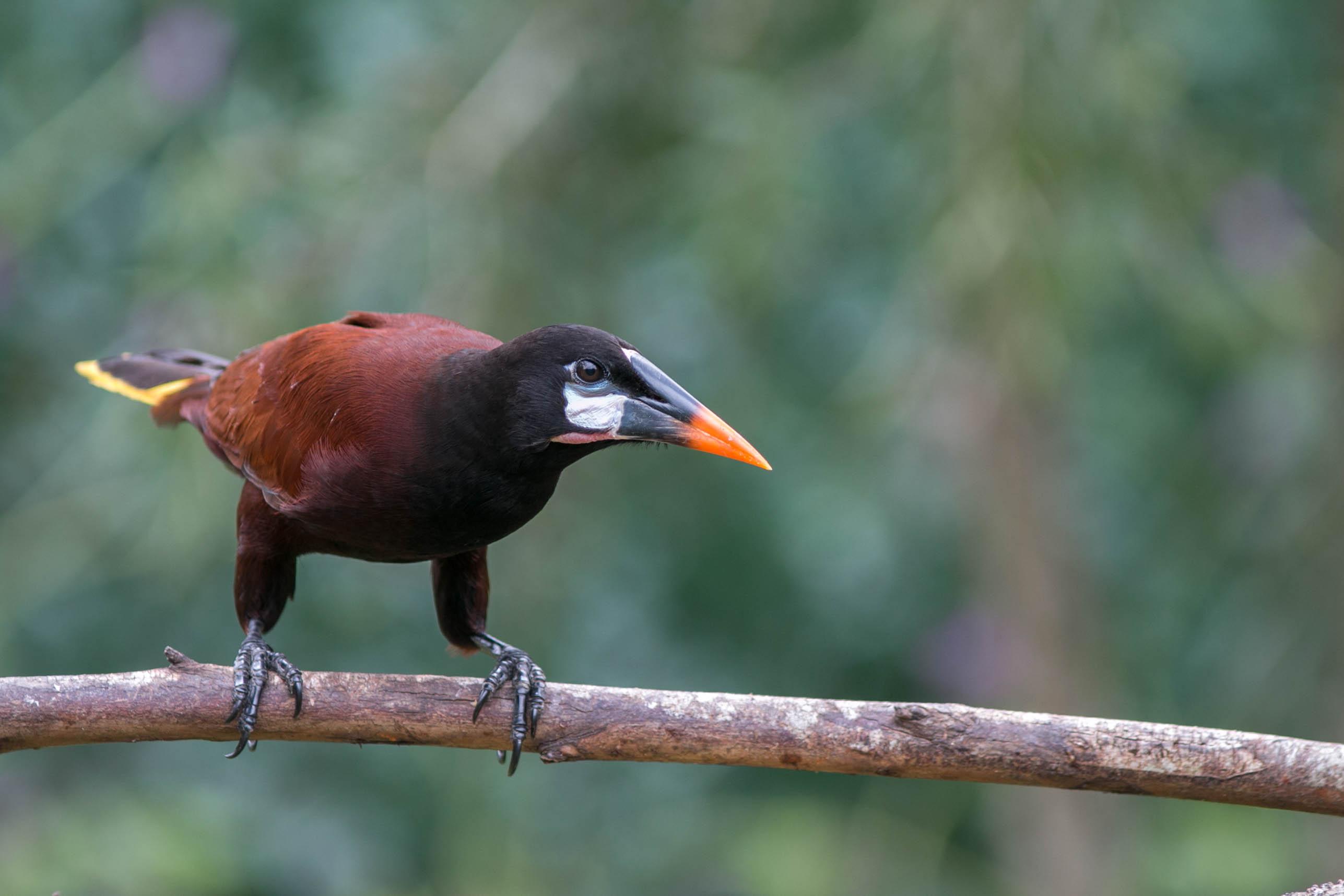 Montezuma Oropendola