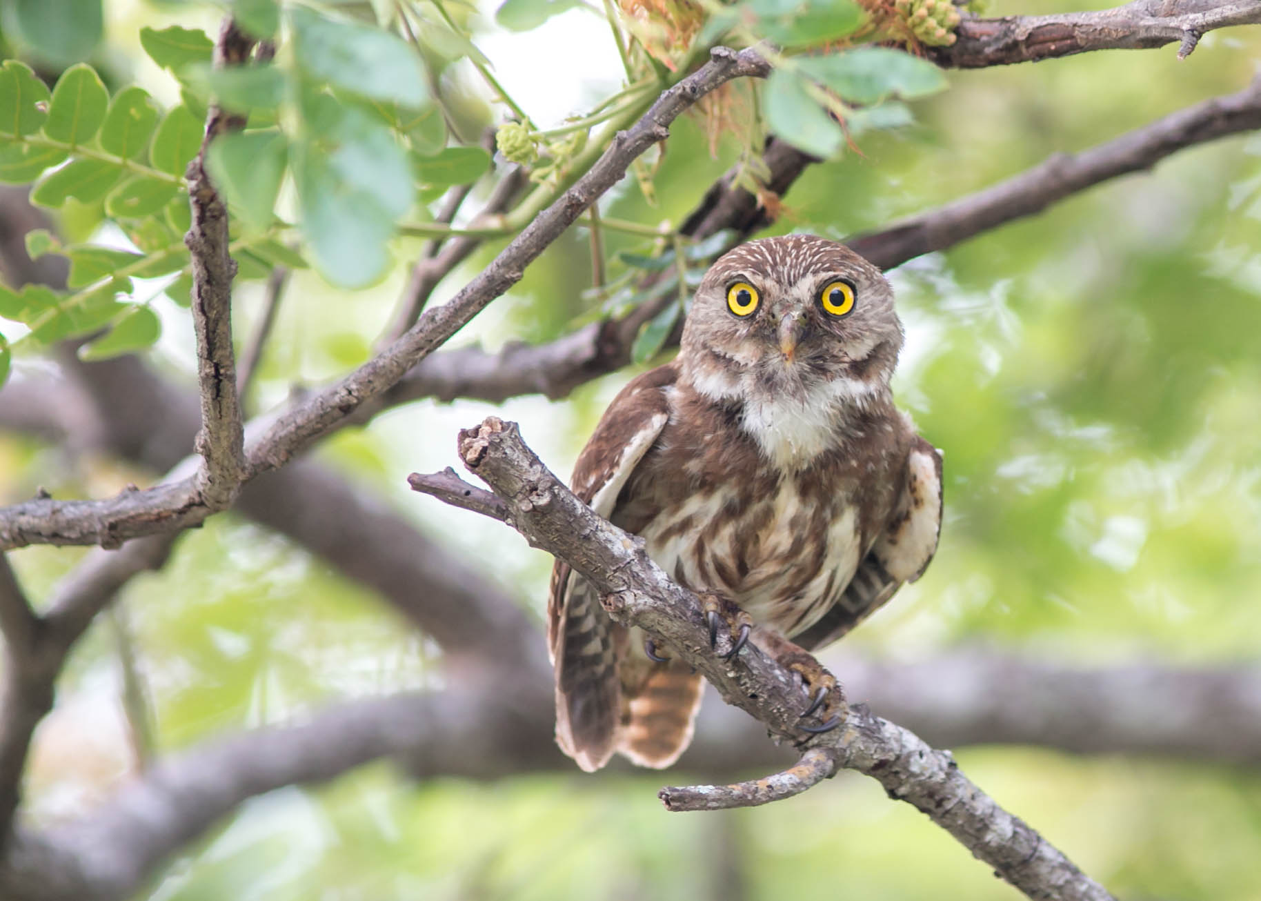 Ferruginous Pygmee Owl
