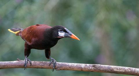 Passerine Birds Costa Rica